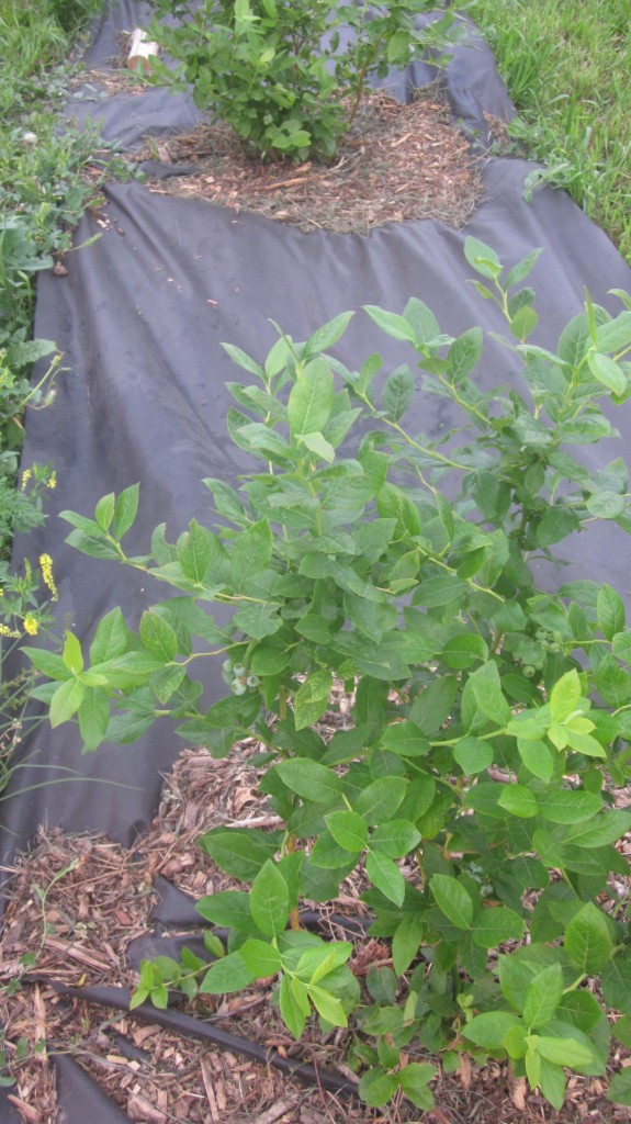 Don't my blueberry bushes look happy here, surrounded by black landscape cloth and some woodchips?
