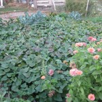 "Return to Anne's ""Back to Eden"" garden: oh, the sweet potatoes!"