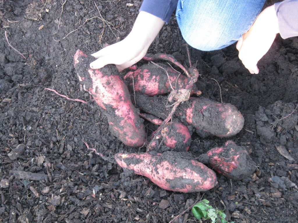 These sweet potatoes are just perfect: clear-skinned, good sized.