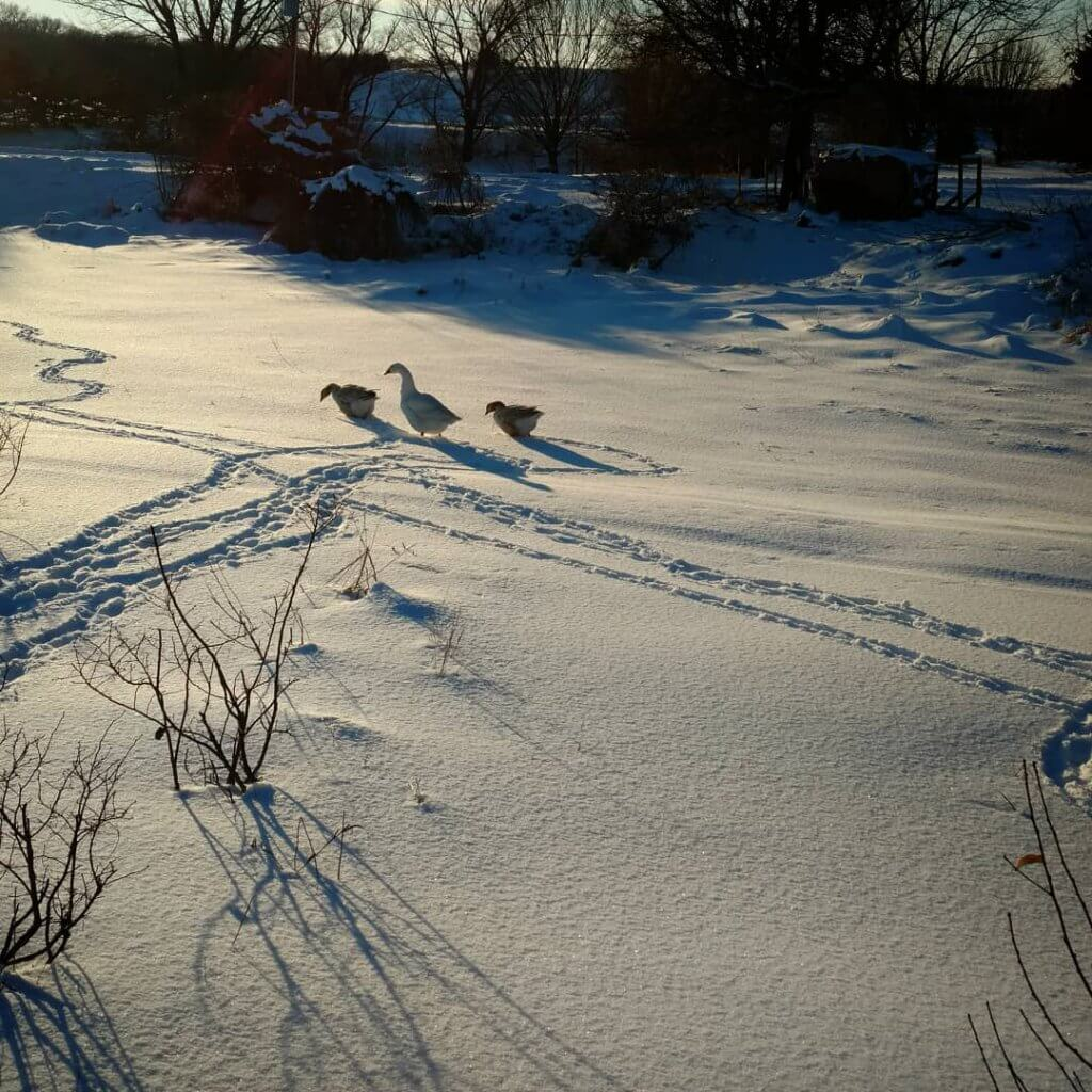 three geese making tracks in the snow