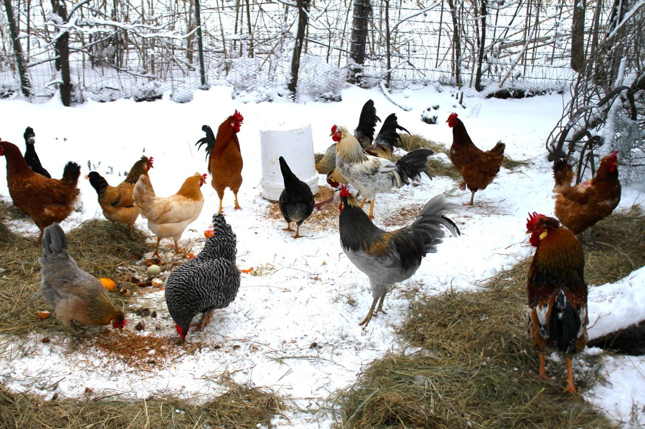 The Flap About Diatomaceous Earth And Why Your Chickens Need It Vomitingchicken Com