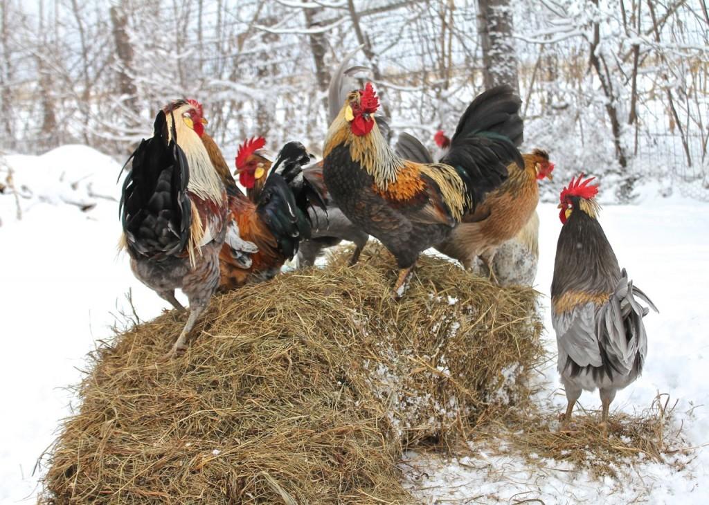A healthy chicken is a handsome chicken is a happy chicken. :)