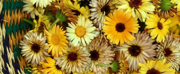 Make Your Own Healing Calendula Oil: amazing natural medicine for your skin!