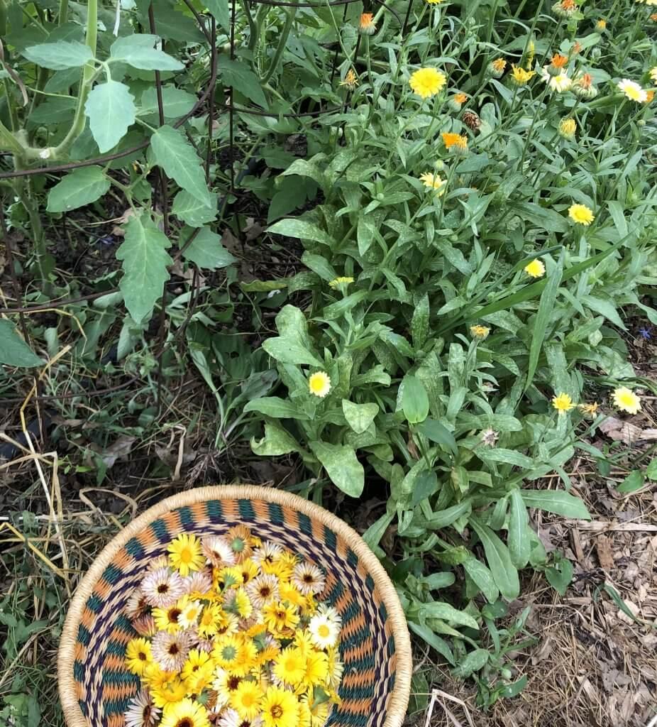basket full of calendula flowers