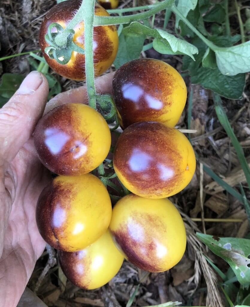 yellow & purple tomatoes