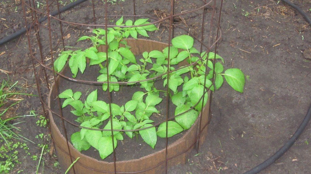how to plant potatoes in a vertical manner