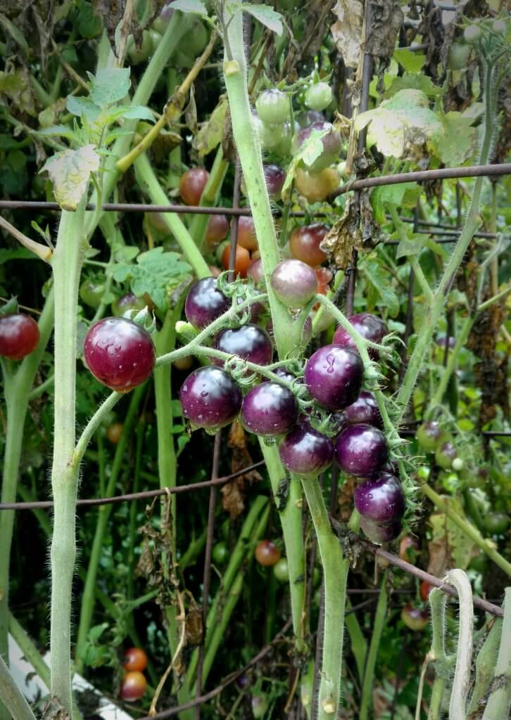 blue berries tomatoes
