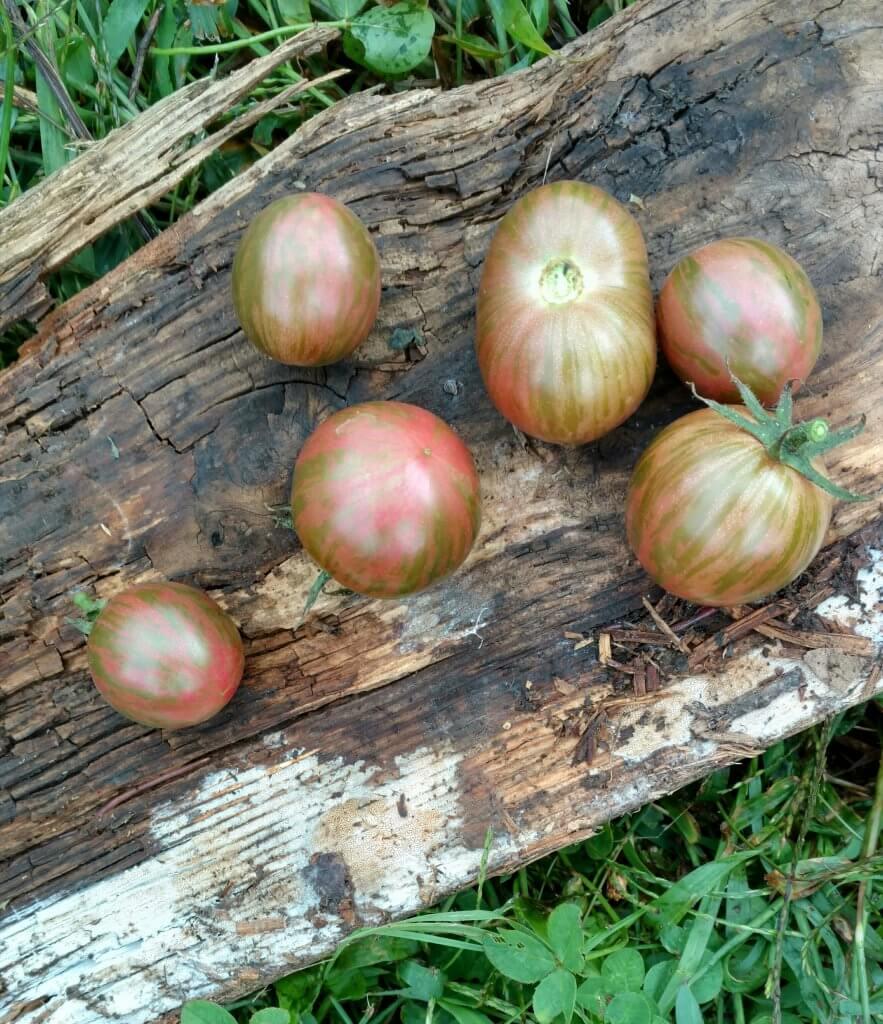 striped purple cherry tomatoes