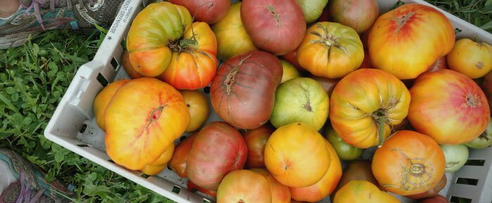 Tomato varieties that I'll grow again, cross my 'mater-pickin' heart