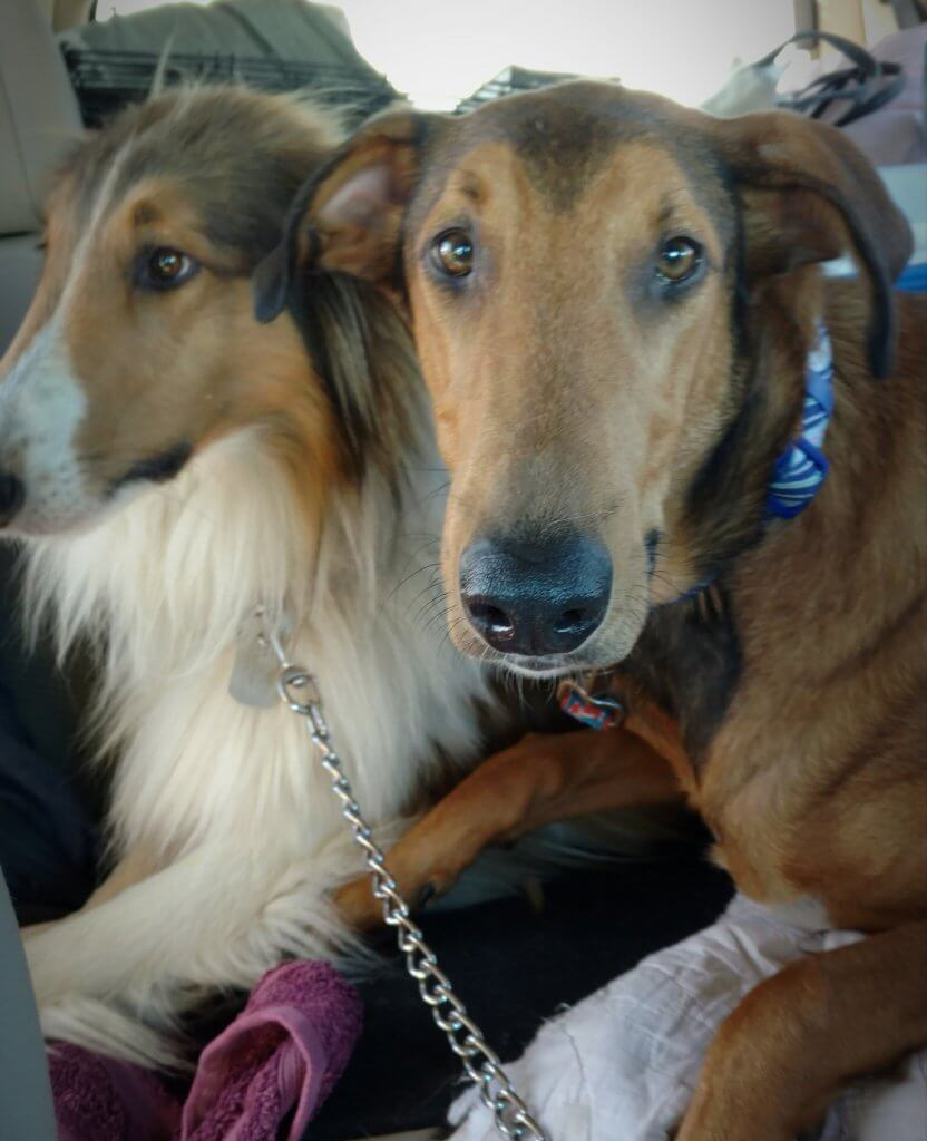two dogs in car