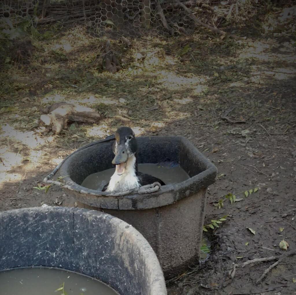 duck stuck in a bucket