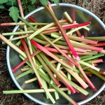 Fleeting Days of Rhubarb-Cherry Bars . . .