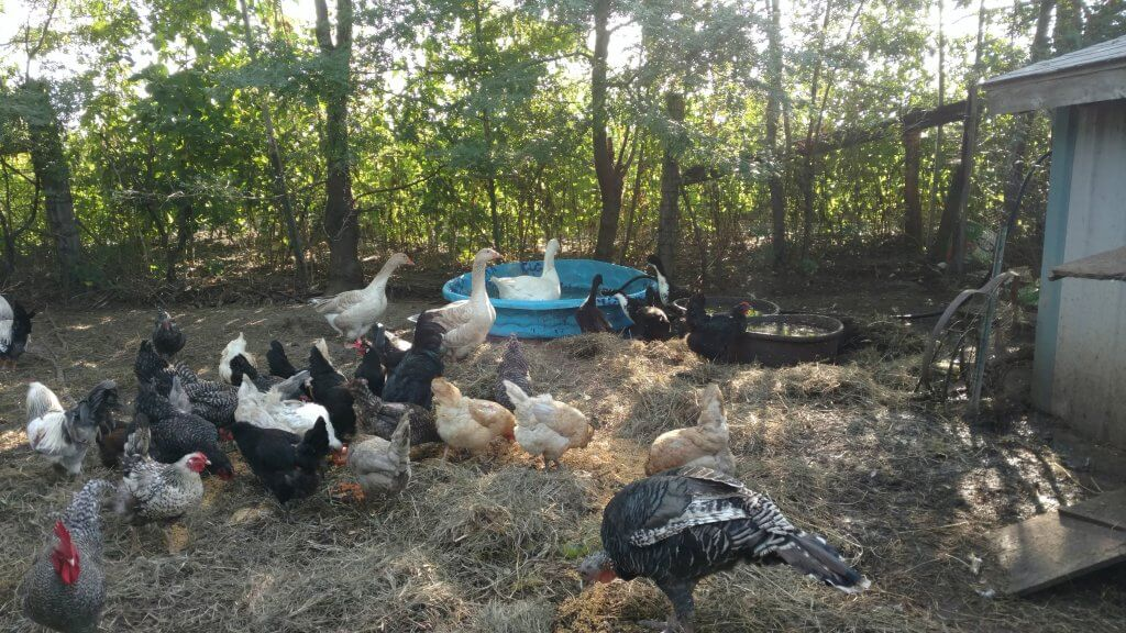 chickens in their shaded yard
