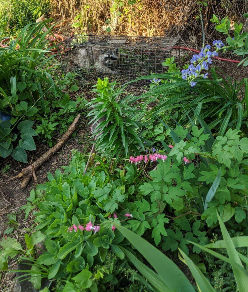 raccoon in trap, flower garden