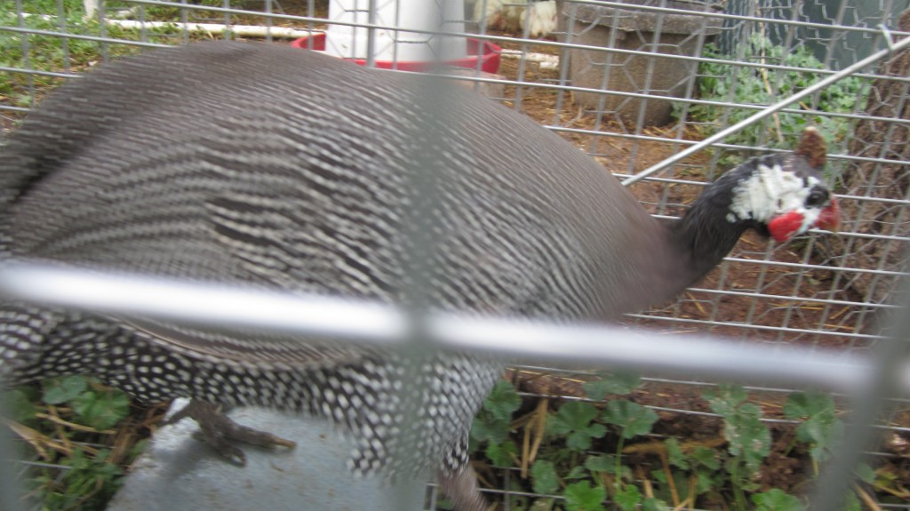 Here's Hope, one of our guineas. She was moving too fast for me to get a good picture.  Bad form, Hope.