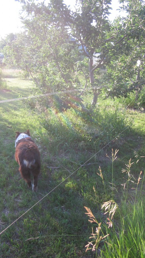 Gosh, it's hard to take a picture of fishing line! But you can see here the two strands of line glinting in the sun, and the lush and healthy apple trees behind it.