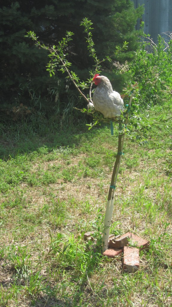 The youngest Troop, little Mack, decides that he can help best by staying out of the way and posing Babes in unconventional places.  Here she is in a little tree.