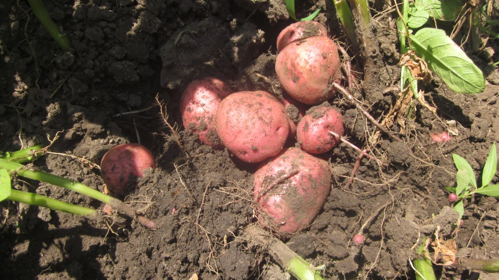 How to plant potatoes in a tower