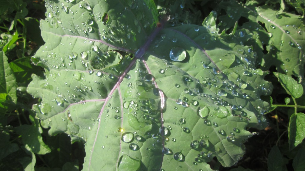 The kale in my garden is absolutely gorgeous in the early morning dew.