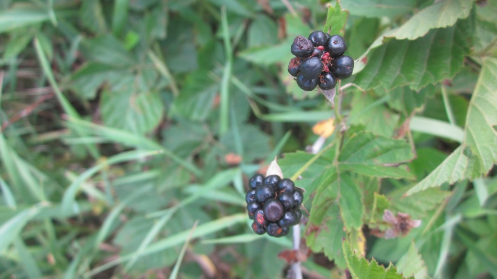 Dewberry report: berries are ripe and ready to be picked! I'm so happy that I beat the chickens to them!