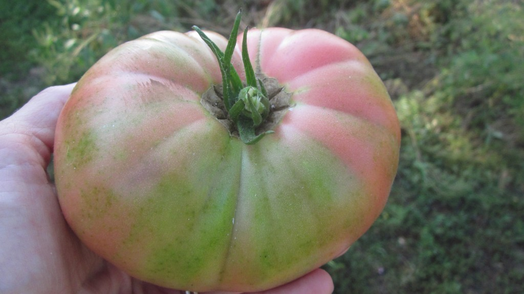 Here's a perfect pink Brandywine, picked just as it's turning in color.
