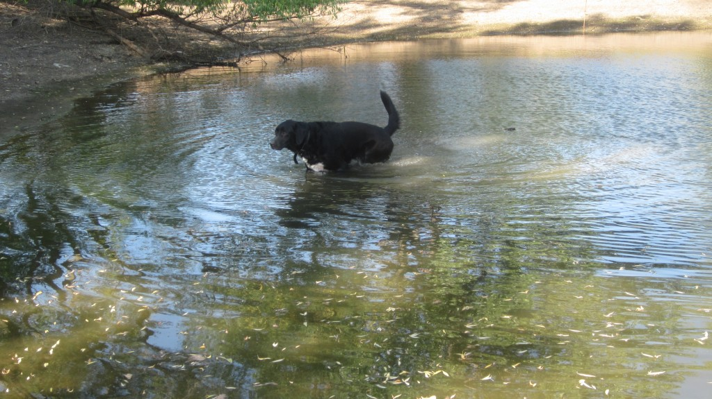 Our black lab Ollie can't stand being near water without plunging in!