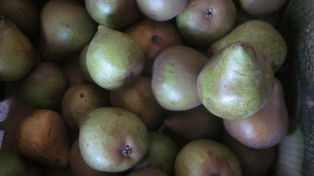 My mom has a friend with a mature orchard. These pears came from him, and I plan to make pear leather out of them, once they are ripe.