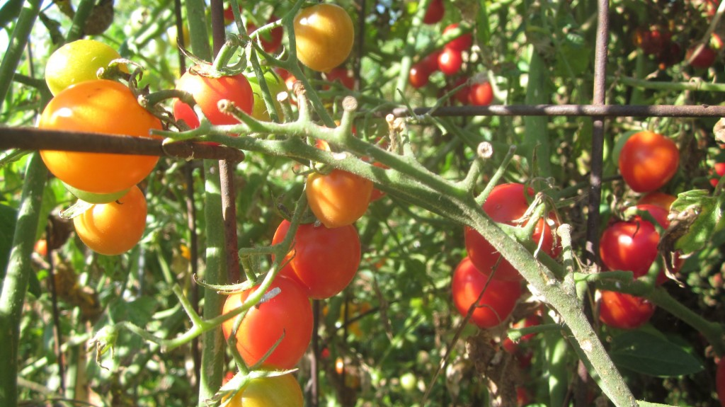 Cherry tomato plants: do they EVER take a break from producing?