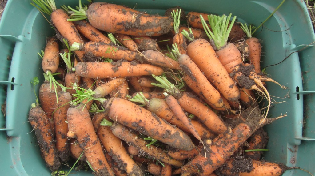Here is a picture of our carrot harvest. Why? Good question.