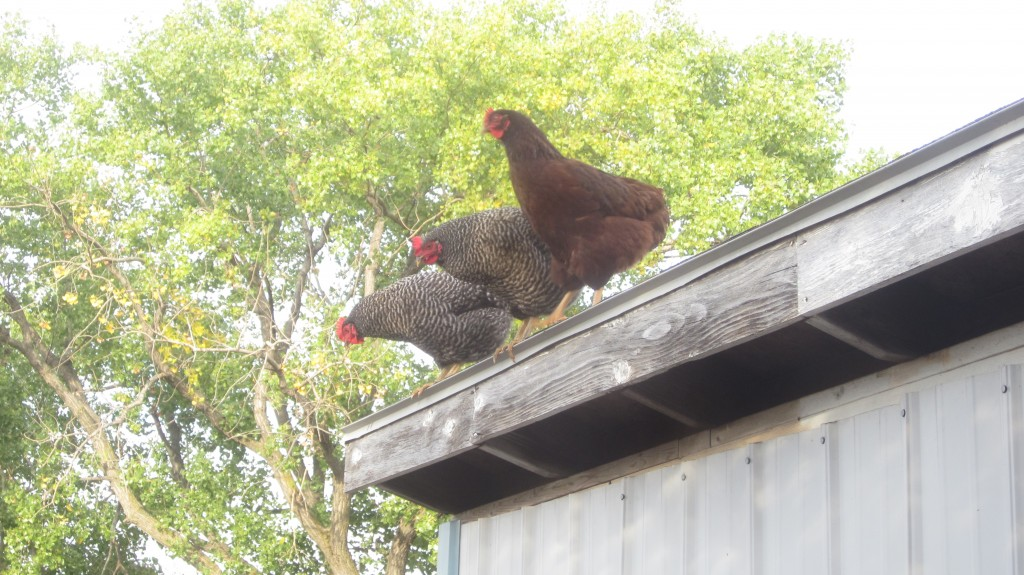 Keep your chickens happy through the winter and they won't be tempted to fly the coop!