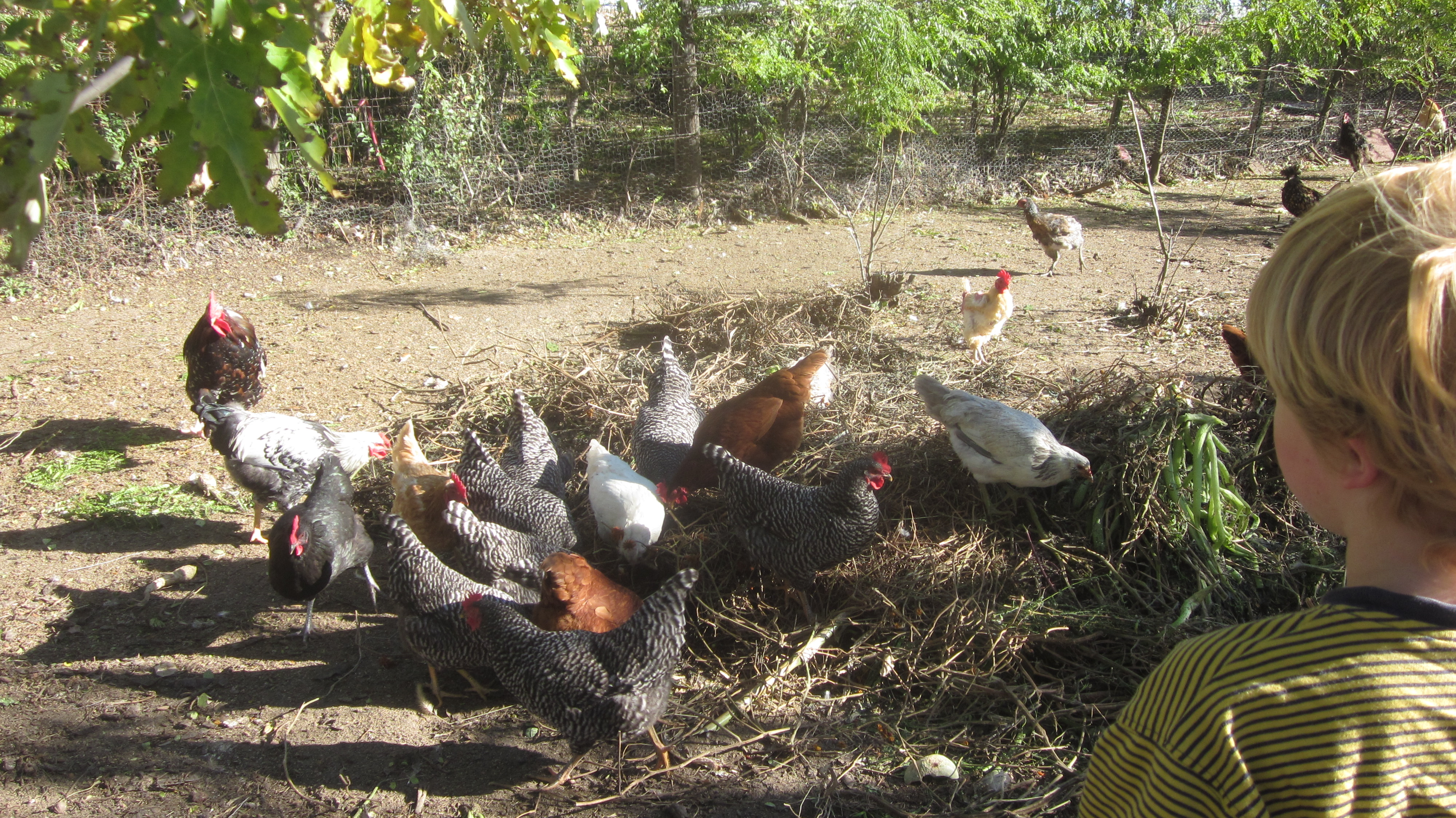 How to Keep Your Chickens Warm During the Winter: Guest Post!