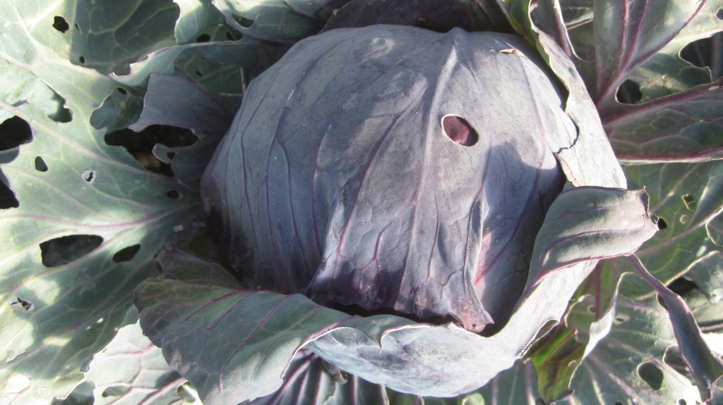 Little heads of cabbage are forming on the cabbage plants.