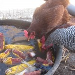 Surprising chickens: bobbing for corn on the cob, and winter feeding tips