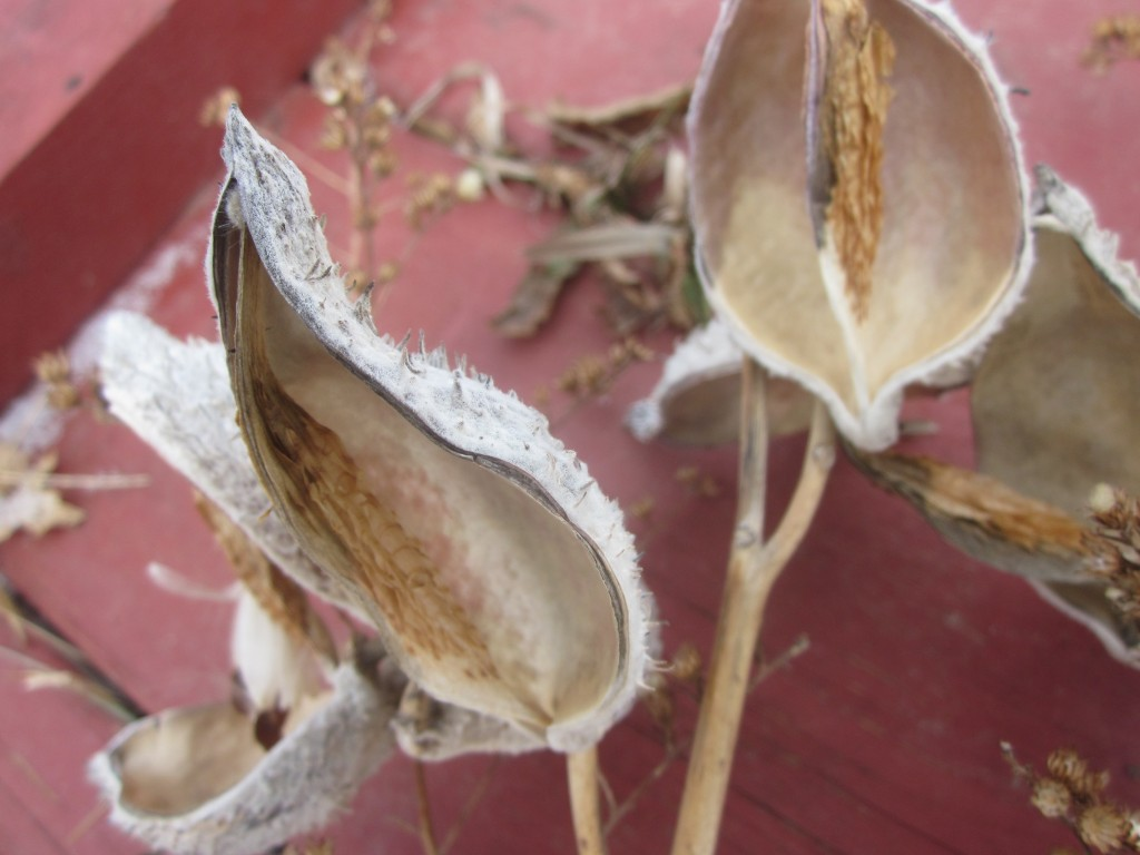 beautiful milkweed pods
