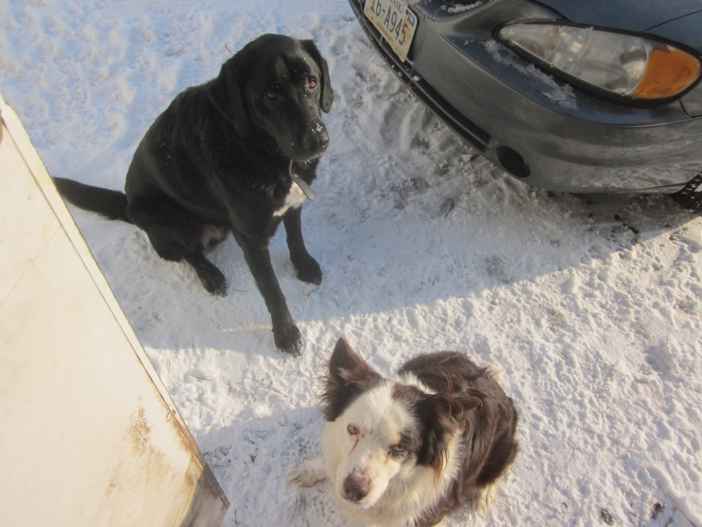 Here the dogs are waiting for me, just outside the back stoop. I take kitchen trash to the chooks every morning, and usually throw them a treat, too, thus their diligence to dog my every step.