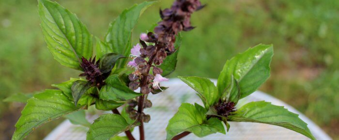 How to prune basil for the longest, most abundant harvest: truly a game changer!