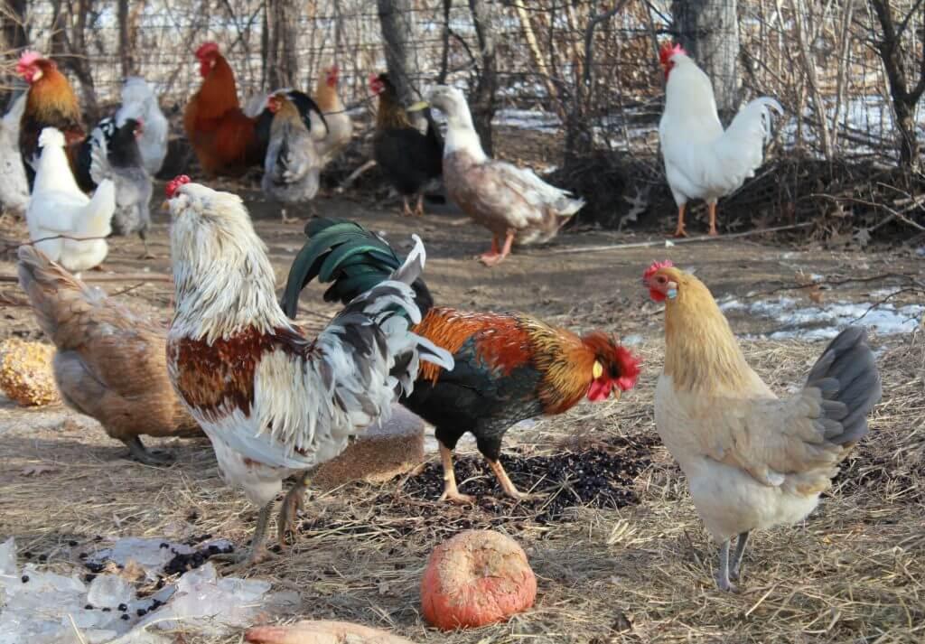 chickens in chicken yard
