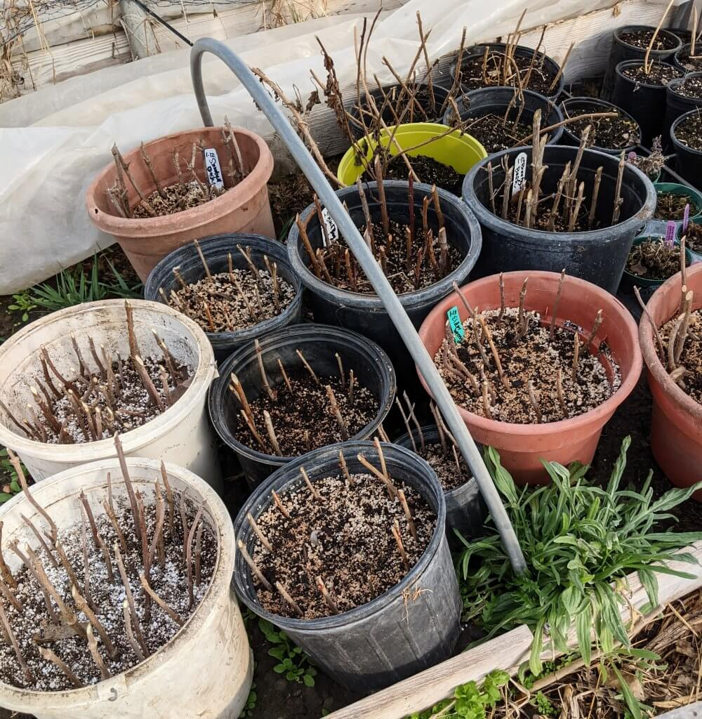 pots with cuttings