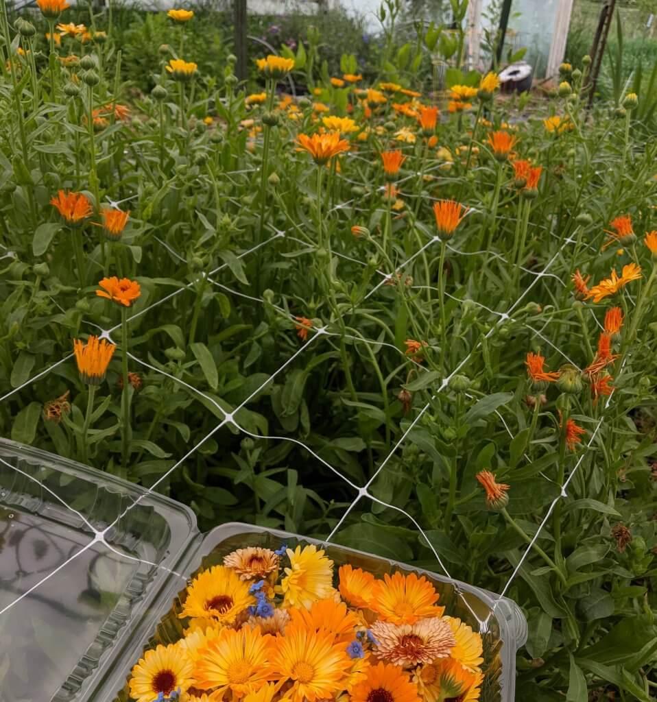 case of calendula and growing calendula flowers