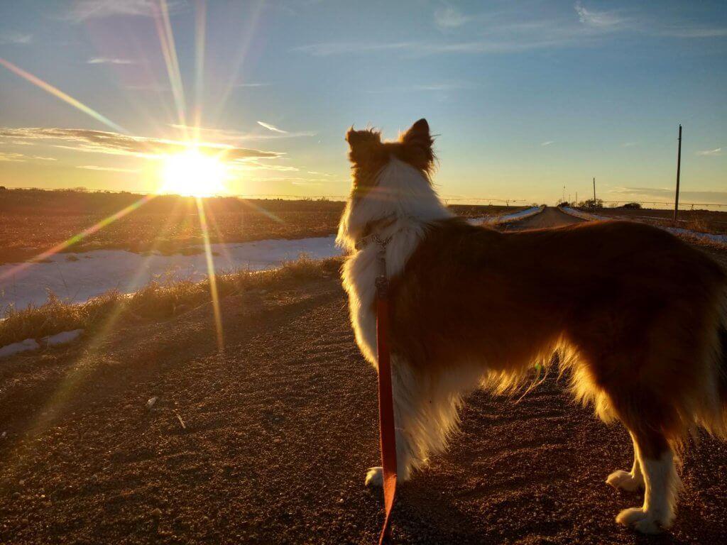 collie dog gazing at sunset