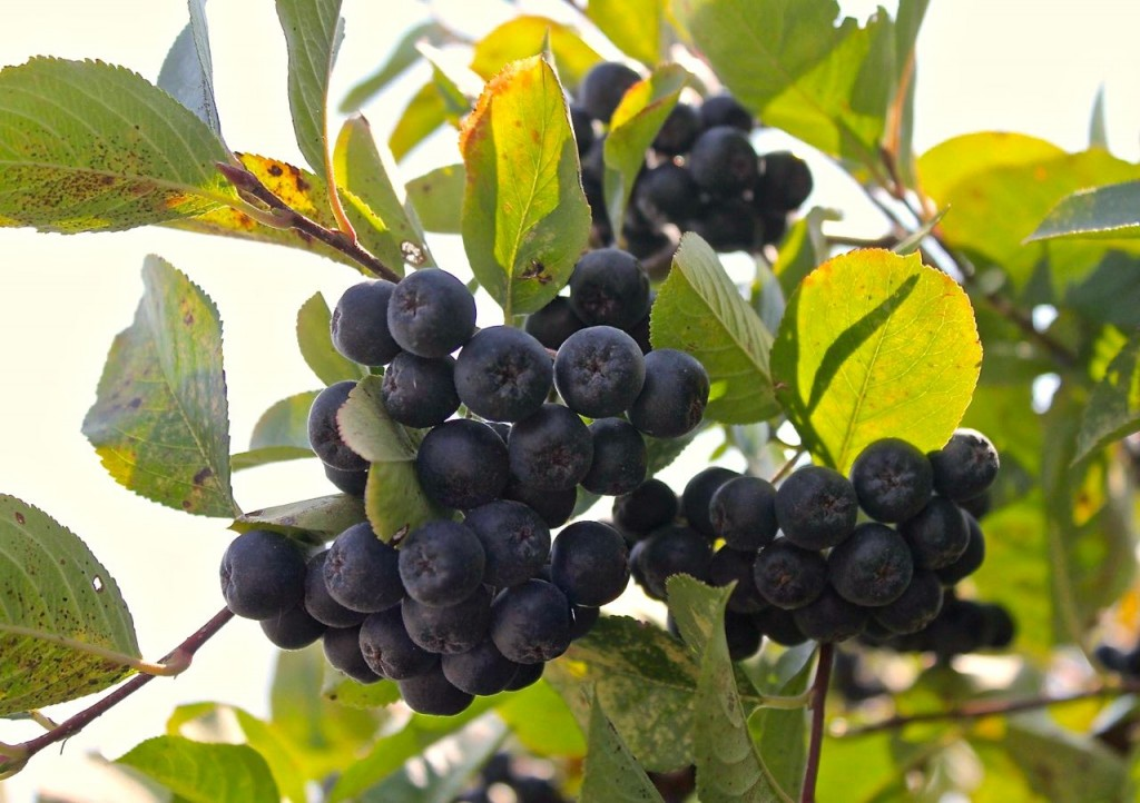 cluster of aronia berries on bush