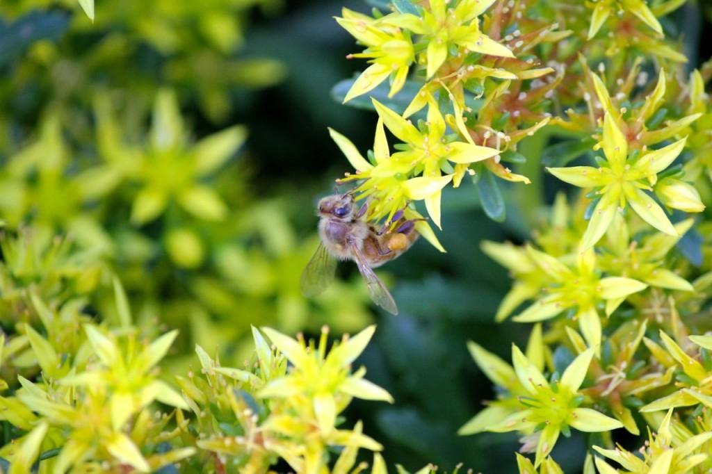 Here one of Dad's honeybees loads up on pollen, on Mom's sedum.