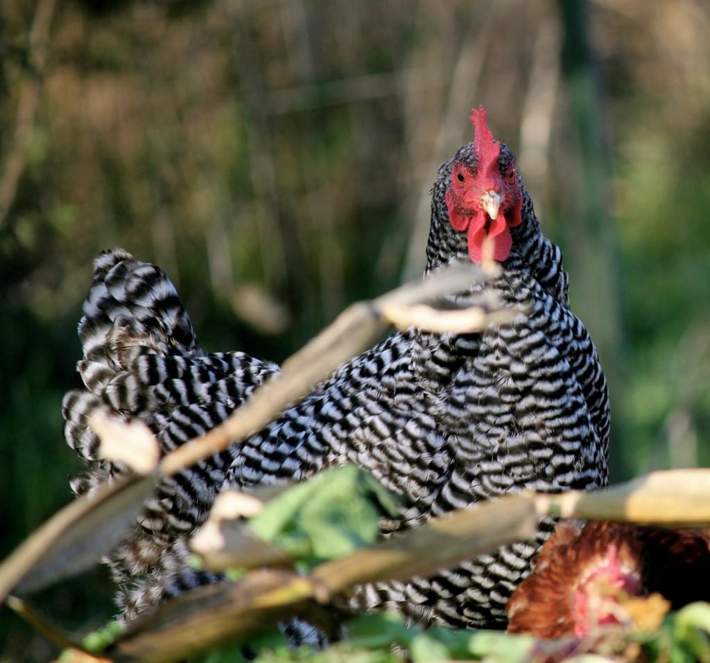 chicken yard taco