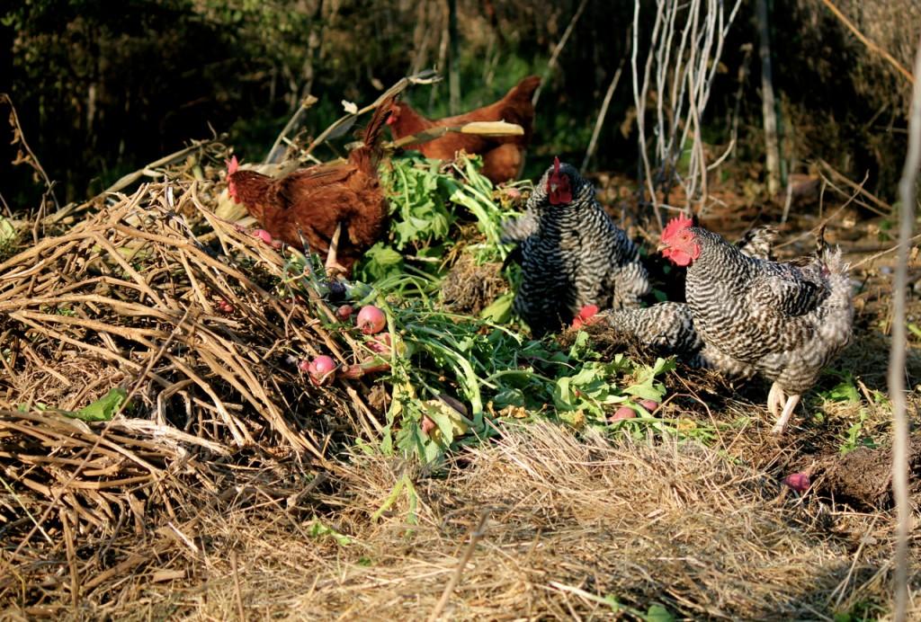 chicken yard pile
