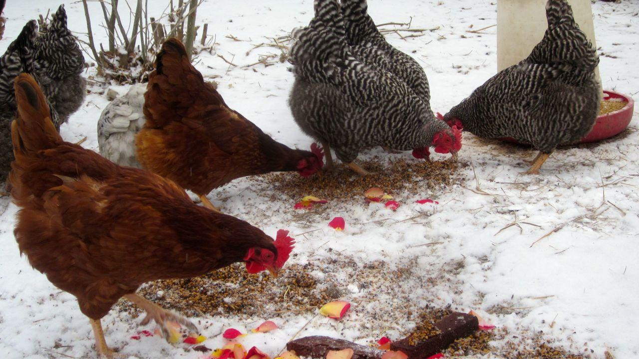 Helping Philippa lay her egg: an egg-binding adventure