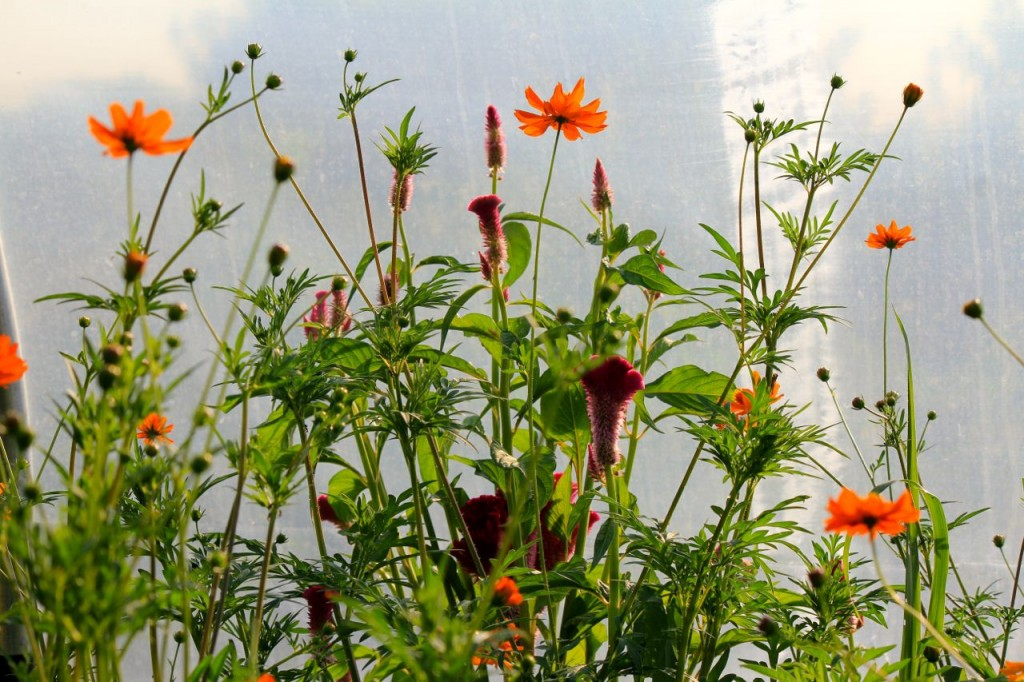 Cosmos are so cheerful.