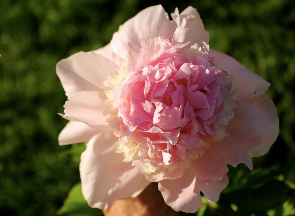 But first. A picture of a peony. It's a stalling tactic.