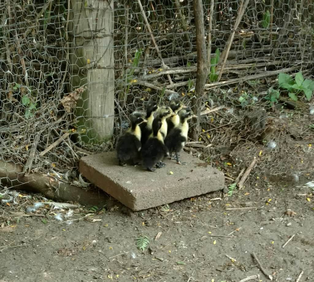 6 ducklings