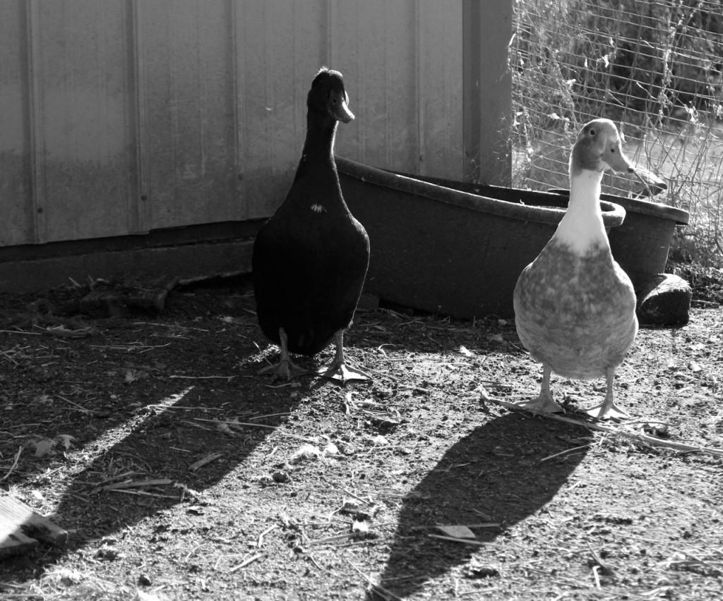 ducksb2