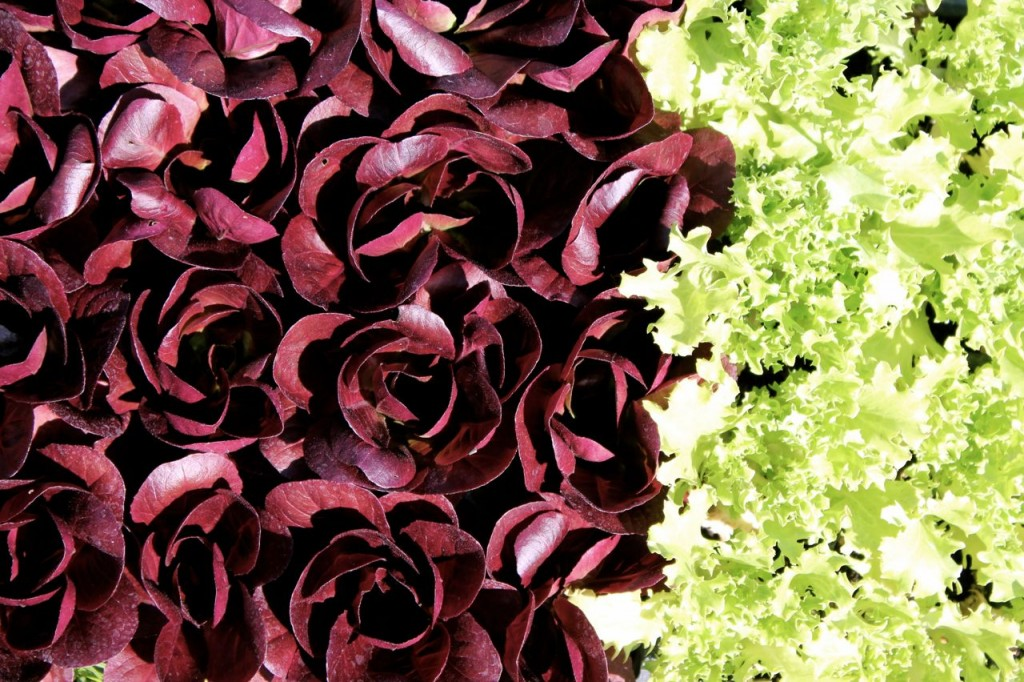 Don't these salanova lettuces look like roses?
